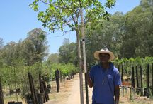 Ficus natalensis (Natal Fig) / This fast-growing evergreen tree is makes an excellent shade tree, with its impressive green foliage. It is both wind and drought resistance and can reach an impressive height within a few years. We currently stock 40L, 200L, 400L and 1000L. (Last updated 28 March 2017)