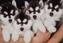 Huskys / I love dogs