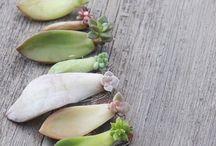Multiplication Des Plantes Succulentes
