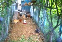 Hønsehus til liten hage