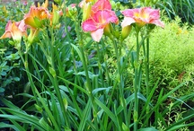 GARDEN: DAYLILIES THAT LIVE HERE / Hemerocallis, the most addictive plant on this green Earth. / by Dee Nash