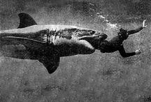 Sharks/Hiu ganas