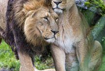 Löwen | Lions | Les lions / Das Herz eines Löwen nützt dir nichts, wenn du den Verstand eines Esels und den Charakter einer Ratte hast.  | We Heart It