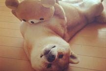 Shiba doggie