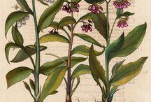 Botanic Antique Prints Basilius
