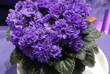 African Violets / Pictures of African violets