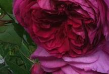 Roses / by Jessica Mlotkowski