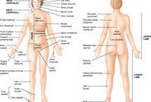 Anatomical sites