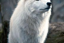 kvit ulv