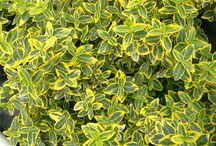 EUONYMUS / Varieties and Colours