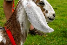 Goats / by Kim Quinn