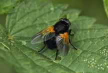 Diptera (True Flies)
