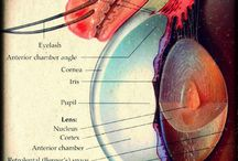 Eye Anatomy / Eyeball Anatomy sculptures and prints through the ages. Eyeball anatomy as it relates to eye diseases.