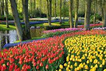Tulips garden ,Amsterdam