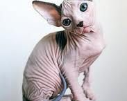 Sphynx Cats / Do you have a Sphynx Cat?  This is for the serious Sphynx lover. ;o)