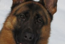 German Shepherds GatorlandK9 International / Imported German Shepherds used for family protection and service protection