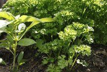 Herbes aromatiques et autres