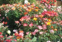 I love to garden These are some of the things in my gardens / I have knockout roses, mums, gerber daisies, colorful solar lights, bird baths, angel statues, pinwheels