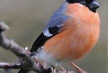Bullfinch  снегири