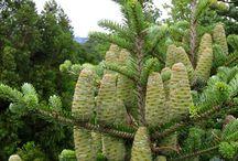 Pinaceae / needles arranged spirally