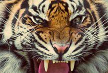 tigrisek birodalma