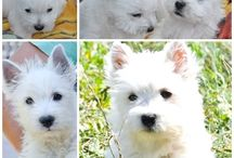 west highland white terrier / www.canisawestie.weebly.com