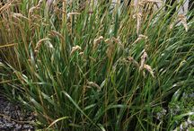 Grasses, Rushes and Sedges - Banks Peninsula Native Project