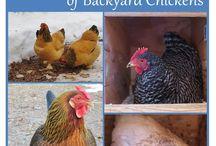 Chicken planning