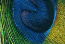 Color pencil peacock feather