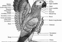 Africangreyparrot