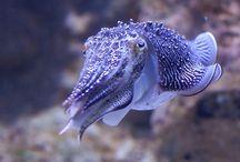 Class: Cephalopoda