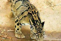 Velké kočky