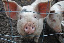 Pigs! / by Adam Gerard