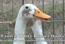 Fawn & White Runner Duck