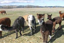 Farm Animals at Cleveland Winery