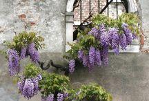 Nature - Flower I - brugmansia, wisteria, hydrangea, rhododendron, magnolia, sakura, forsythia
