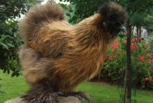 Partridge Silkies / Beautiful partridge Silkie chickens