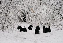 Snow Scotties