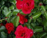 Rozen / Roses