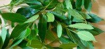 beneficiile frunzelor de dafin