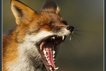Furry Foxes
