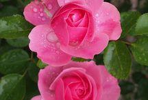розы Мейан