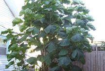 Large leaves
