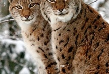 Lynx / Cats)