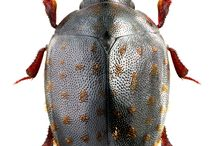 nosodendridae