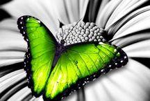 Schmetterlinge / Fluture / Butterfly