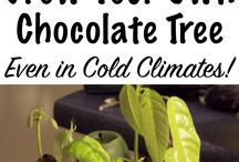 growing your own chocolate tree
