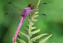 dragonflies / by Fernanda Oravec