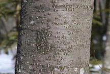 Alnus Incana anin alb