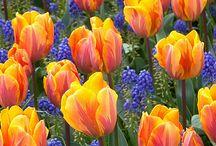 Тюльпаны. Нарциссы. Первоцветы